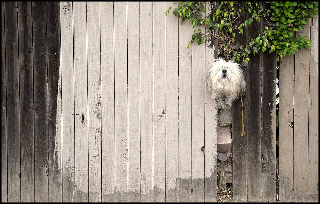 A dog howls through a fence on Pacific Avenue in Long Beach.